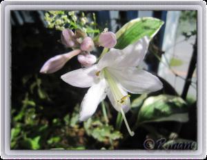 blomsterfunkia