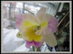 Doftande orkidé