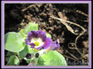 Primula pubescens 'Blue Dusty Miller'
