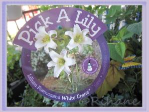 Lillum Formosa 'White Crane ®'