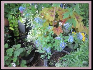 Corydalis 'Blue Dragon'