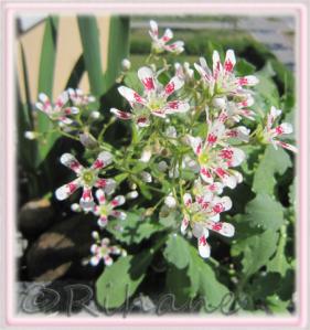 Saxifraga cotyledeon 'Southside Seedling', Fjällbrud