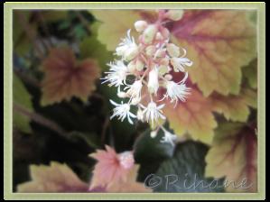 Klockvippan blommar