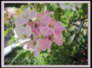 Phlox paniculata 'Sherbet blend'