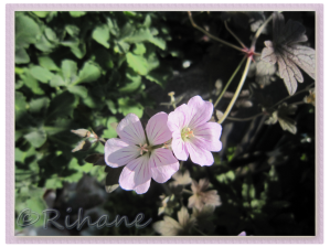 Geranium Dusky Rose
