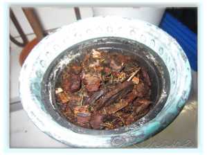 Begoniaknölen planterad