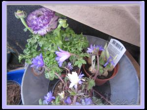 Backsippa, iris och ranunkel