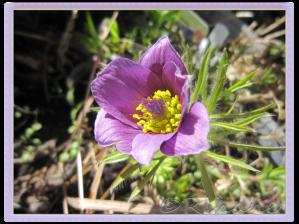 Pustatilla Vulgaris 'Röde Klokke' med lila blomma