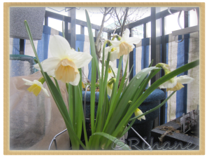"""Narcissus """"Katie Heath"""""""