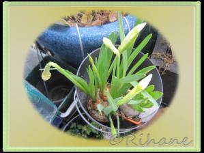 Narciss och hyacint