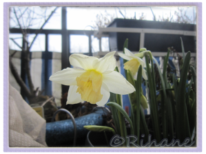 Narcissus 'Katie Heath'