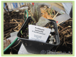 Trillium Sessile, Paddtreblad