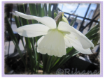 Narcissum Thalia