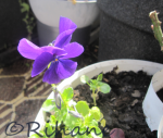 Viola cornuta 'Martin'