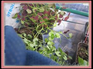 Trifolium repens, (vitklöver)