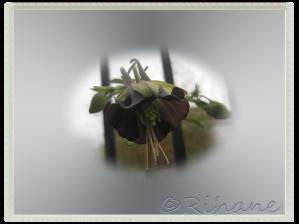 Grönakleja, Aquilega viridiflora 'chocolate Soldier'