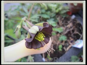 aquilega viridiflora, Grönakleja 'chocolate Soldier'