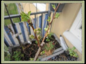 Blomknoppar på chokladkörsbär
