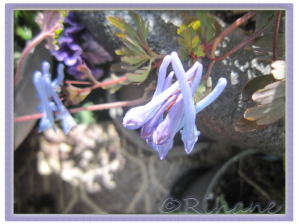 "Corydalis flexuosa ""blue dragon"""