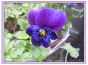 MINIPENSÉ 'Floral Power Super Blue Beacon F1' Viola x hybrida