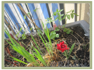 Tulipa humilis 'Tète à Tète'