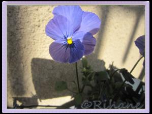 Viola cornuta 'Baby Lucia'