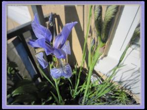 Iris Sibirica 5/6-12