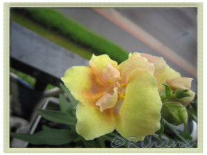 Anthirrrhinum majus 'Twinny peach'