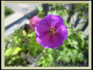 Geranium Sanguineum, Blodnäva ´Vision violet'