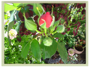 Rosa 'Lavender Pinocchio'