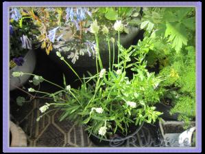 Vit isop, vit lavendel och vit gräslök