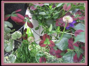 """Trifolium repens """"Isabella"""""""
