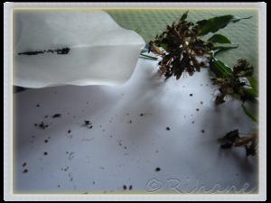 Dianthus barbatus(Near Black)