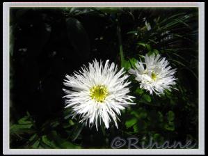 Leucanthemum x superbum 'Aglaia', fylld jätteprästkrage.