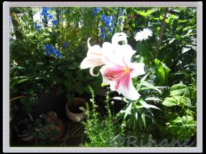Lilja i balkongvy