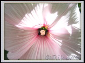 Lavetara trimestris 'Pink blush'