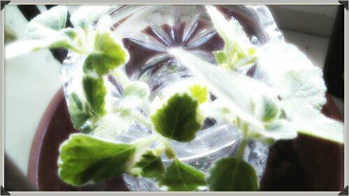 Söderhavsljus(Plectranthus forsteri Lamiaceae)