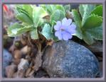 Primula marginata, dvärgaurikel