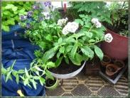Nyplanterad doftkruka