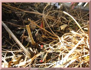 Paeonia lactiflora Top Brass