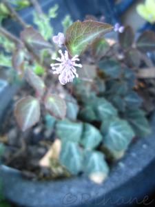 marmorruta , thalictrum ichangese 'evening star'