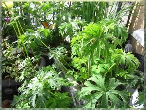 Geranium pratense (Dark-leafed Form)