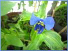 Commelina 'Hopleys variegated'