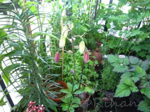 Lilium martagon 'Claude Shride'