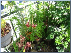Vy med Lilium martagon 'Claude Shride'