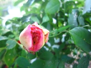 Knopp på rosen kosmos