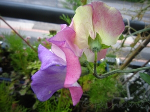 Lathyrus odoratus 'Spanish Dancer'