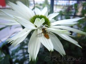 Echinacea virgin med ett solbadande bi(som levde)