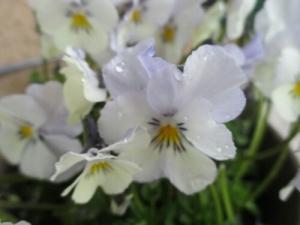 Hornviol, viola cornuta 'Milkmaid'