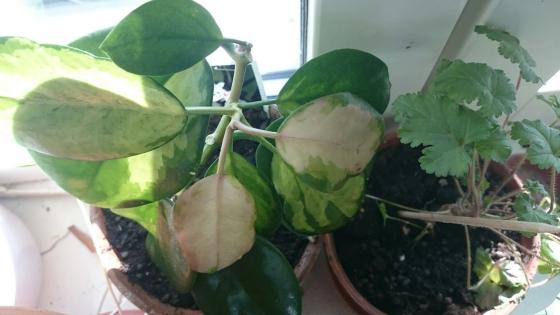 Hoya australis subsp. tenuipes ´Lisa`
